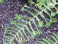 Dryopteris affinis f. cristata2.jpg