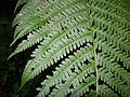 Dryopteris filix-mas Tannwald1.jpg