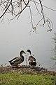 Duck Pair - Santragachi Jheel - Howrah 2017-12-25 5727.JPG