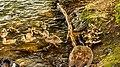 Ducks (38341948364).jpg