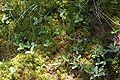 Dury zbiorowisko z bobrkiem trójlistkowym 01.07.10 pl.jpg