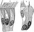 EB1911 Cytology - types of cells (2).jpg