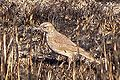 Eastern Long-billed Lark (Certhilauda semitorquata).jpg