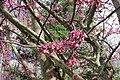 Eastern Redbud bloom (25889886650).jpg