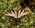 Eastern Tiger Swallowtail Papilio glaucus Flower 2345px.jpg