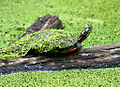 Eastern painted turtle (6991514071).jpg