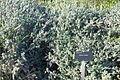 Ebenus cretica - Jardín Botánico de Barcelona - Barcelona, Spain - DSC09245.JPG