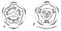 Ecballium flowerdiagrams.png