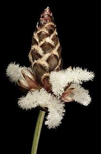 Ecdeiocoleaceae