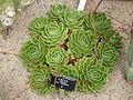 Echeveria elegans var. simulans (Crassulaceae).JPG