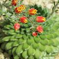 Echeveria setosa-IMG 1627.jpg