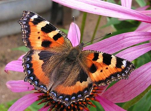 Echinacea purpurea&Aglais urticae20090813 121