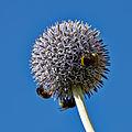Echinops bannaticus-IMG 8508.jpg