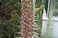Echium wildpretii subsp. trichosiphon.jpg