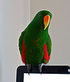 Eclectus roratus -pet perching on computer screen -male-8a.jpg