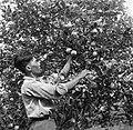 Een arbeider van boer Van Dijk bij het sinaasappels plukken, Bestanddeelnr 252-6447.jpg