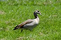 Egyptian Goose Urzig Mosel jun 2018 (5).jpg