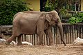 Elephants at Chester Zoo 1.jpg