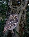Elf Owl From The Crossley ID Guide Eastern Birds.jpg