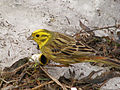 Emberiza citrinella in Pushchino 2.jpg