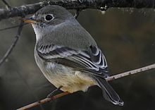 Empidonax wrightii Richard Crossley.jpg