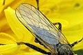 Empis.bistortae.wing.detail.jpg
