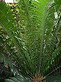 Encephalartos altensteinii 001.jpg
