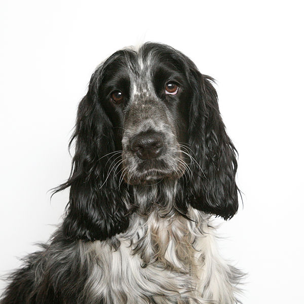 Grey and Black English Cocker Spaniel Dog