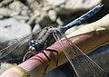 Epaulet Skimmer. Orthetrum chrysostigma, male (32912276592).jpg
