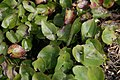 Epimedium x versicolor Sulphureum 2zz.jpg