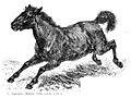 Equus ferus ferus.jpg