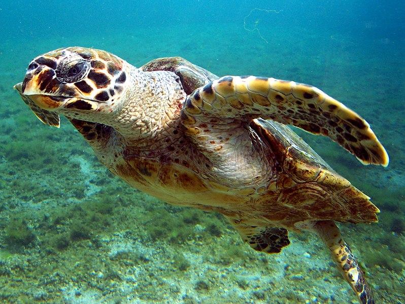 Quoi voir à l'île de la Réunion - la réserve de tortues marines à Kélonia à Saint-Leu