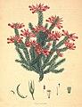 Erica acuminata.jpg
