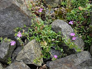 Erinus alpinus (Picos de Europa)