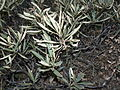 Eriodictyon californicum 00096.JPG