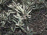 Eriodictyon californicum 00096