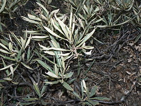 Description de l'image Eriodictyon californicum 00096.JPG.