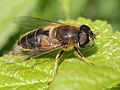 Eristalis sp. (Syrphidae) - female dronefly (6979046124).jpg