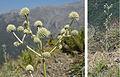Eryngium paniculatum (8429008640).jpg