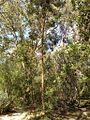 Eucalyptus curtisii1.jpg