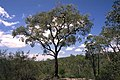 Eucalyptus squamosa.jpg