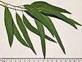 Eucalyptus tricarpa - adult leaves.jpg
