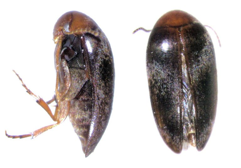Eucinetus stewarti
