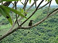 Eumomota superciliosa -El Salvador-8 (1).jpg