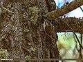 Eurasian Treecreeper (Certhia familiaris) (36165220822).jpg