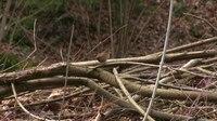 File:Eurasian wren (Troglodytes troglodytes) in Slovakia.webm