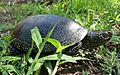 European pond turtle.jpg