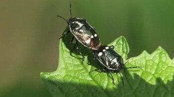 File:Eurydema oleracea in copula - 2012-05-08.ogv