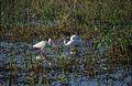 Everglades40(js)-American white ibis.jpg