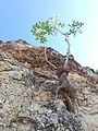 Fıstık ağacı.jpg